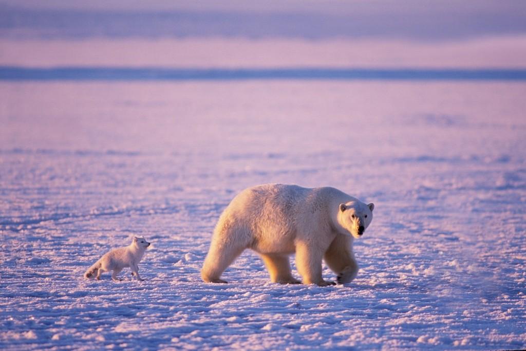 Polární liška spí přímo na sněhu nebo na ledu. Pro jiná zvířata by ... 3f31d6f8bb